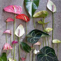 Vous connaissez cette fleur? ⠀⠀ une fleur nommé Arôme, anthurium, fleur de lune ou encore lis de la paix, il en existe plus d'une trentaine d'espèces. Lorsqu'on se balade dans la forêt tropicale, on en croise régulièrement, des blanches, des rouges le plus souvent. ⠀⠀ En Colombie, la tradition veut que l'on offre aux jeunes couples qui se mettent en ménage cette fleur. Car selon la légende, sa floraison dure 3 lunes, période requise pour faire d'une maison un véritable chez soi. ⠀⠀ Voilà ma dernière inspiration 💋 ⠀⠀ #sathyne #sathynebijoux #createurfrancais #bijoux #bijouxcreateur #bijouterie #eshop #tropicaldesign #ethnicdesign  #boucledoreille #bouclesdoreilles #bracelet #hossegor #biarritz #girlboss #flowers #tropical